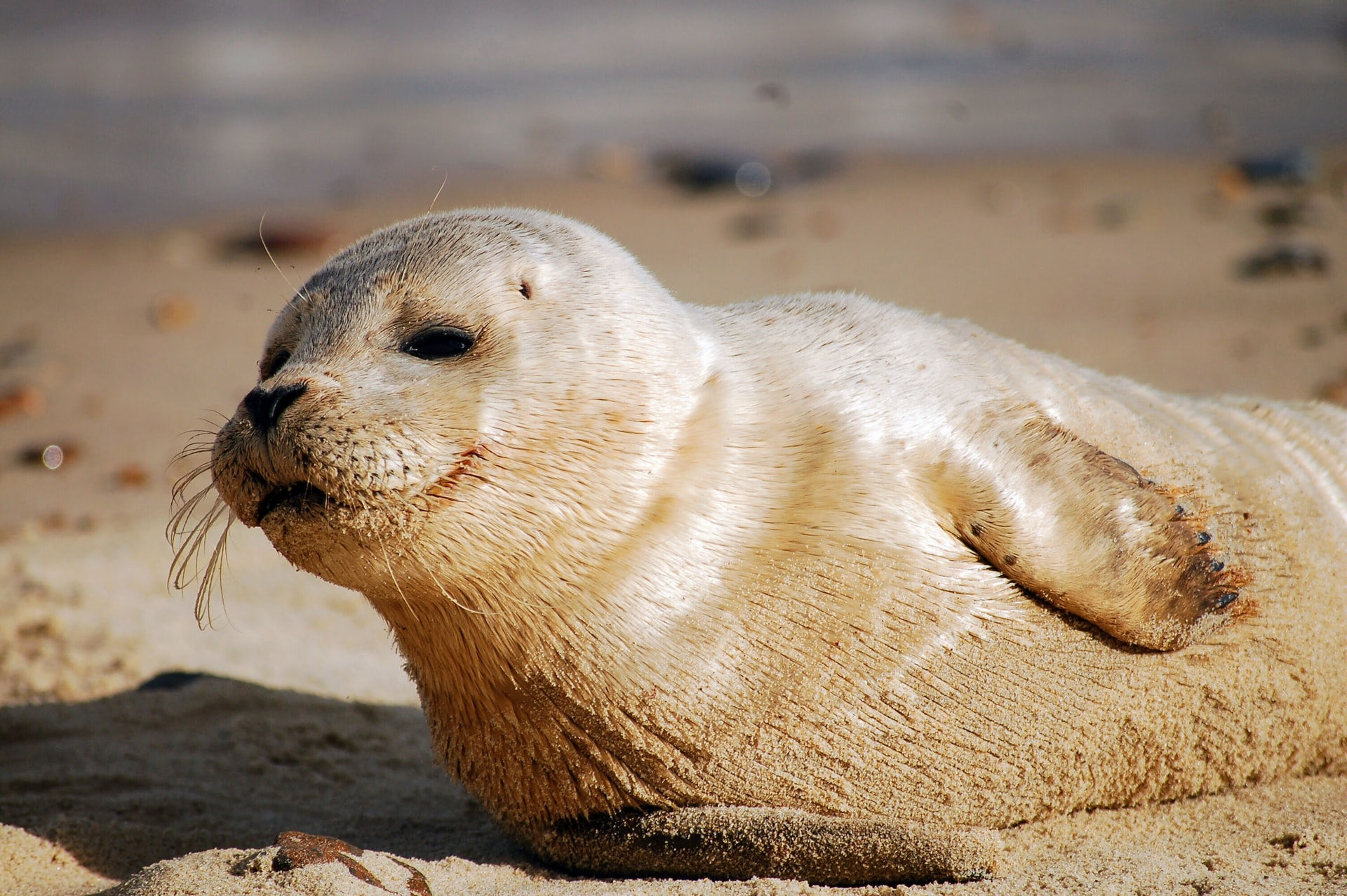 Wildlife on the Norfolk Broads - seal at Horsey Beach